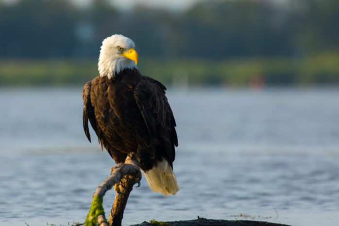 Visit LaGrange Bald Eagle