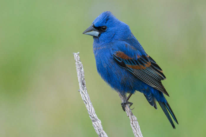 Blue Grosbeak LaGrange Georgia