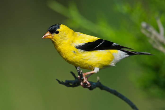 American Goldfinch LaGrange Georgia