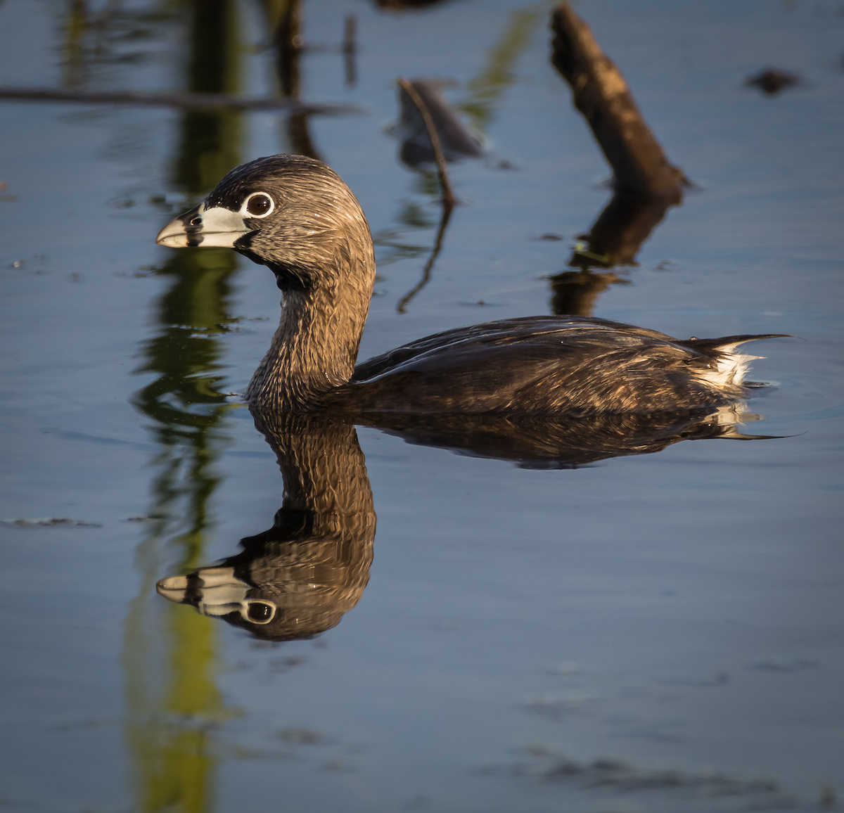 Pied-billed grebe LaGrange Georgia