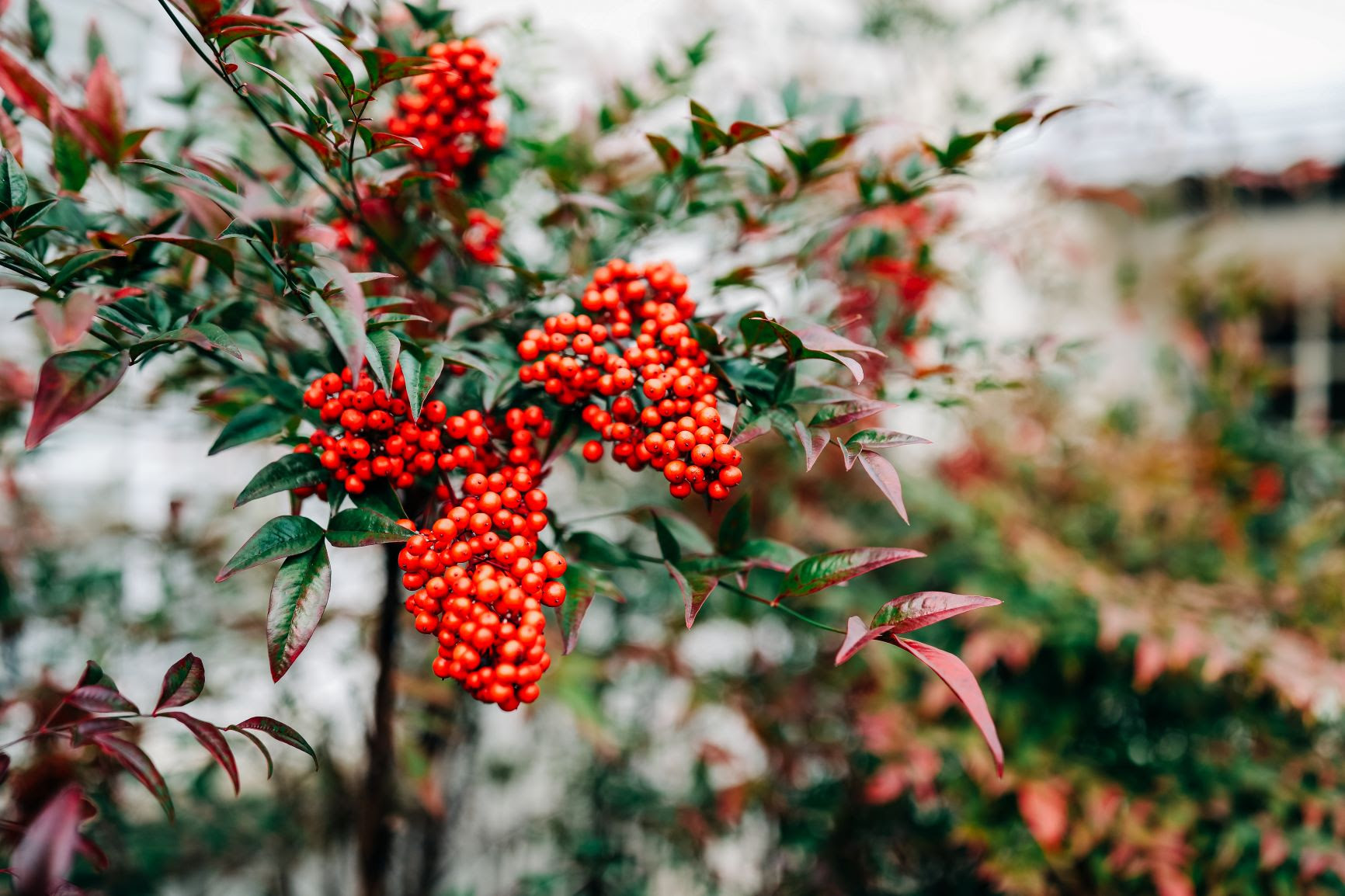Hills-and-Dales-Garden-Winterberry